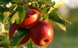 Физминутка фрукты
