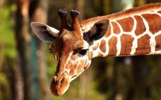 Физминутка У жирафа пятна, пятна, пятнышки везде