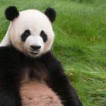 Физминутка панда